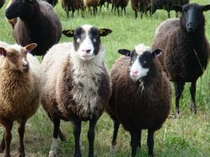 Lauran lampaat laiduntavat kirkonkylän kupeessa.