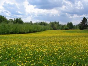 Nurkkalan kesäinen pelto