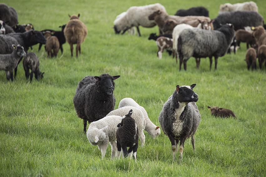 Lauran lampaat laiduntavat kirkonkylän kupeessa