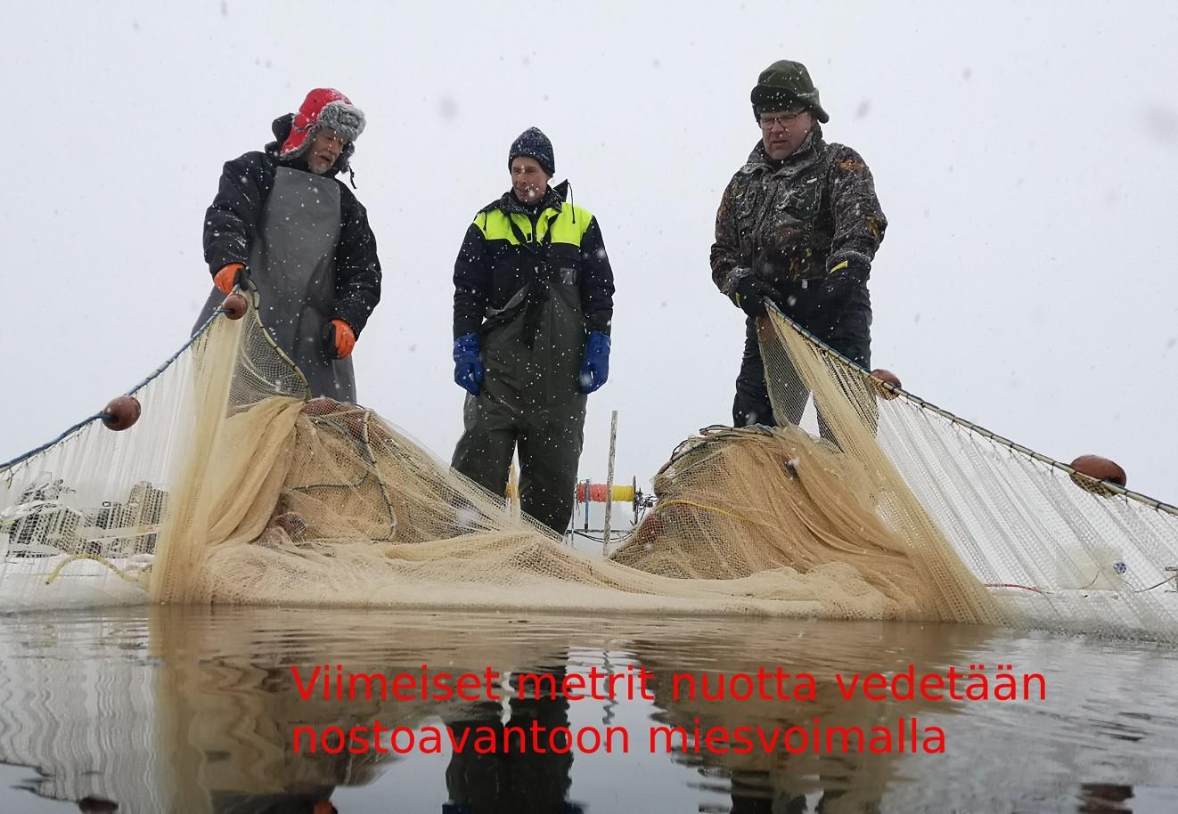 Ammattimiehet asialla – muikun talvinuottausta Jäppilän Syvänsillä